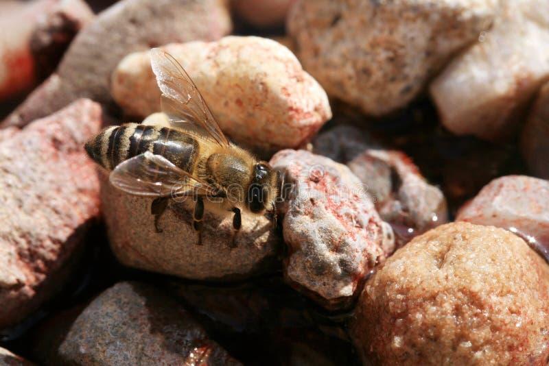 Pszczoła, apis mellifera przy waterhole w pasiece zdjęcie stock
