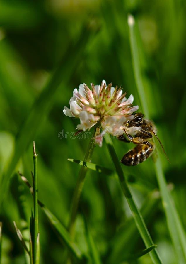 Pszczoła bierze nektar i zapyla kwiatu obrazy stock