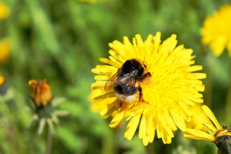 Pszczoła bierze nektar od żółtego dandelion zdjęcie stock