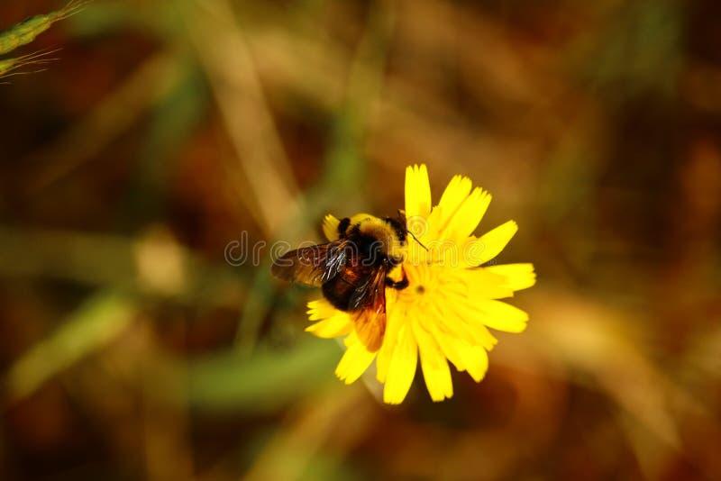 Pszczoła Dandy zdjęcia royalty free