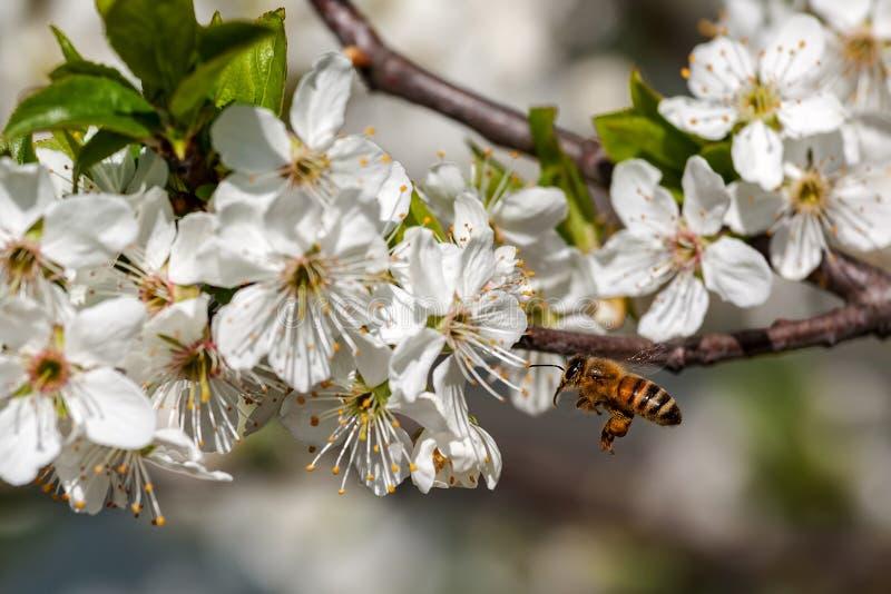 Pszczoła i biali kwiaty w wiośnie obraz stock