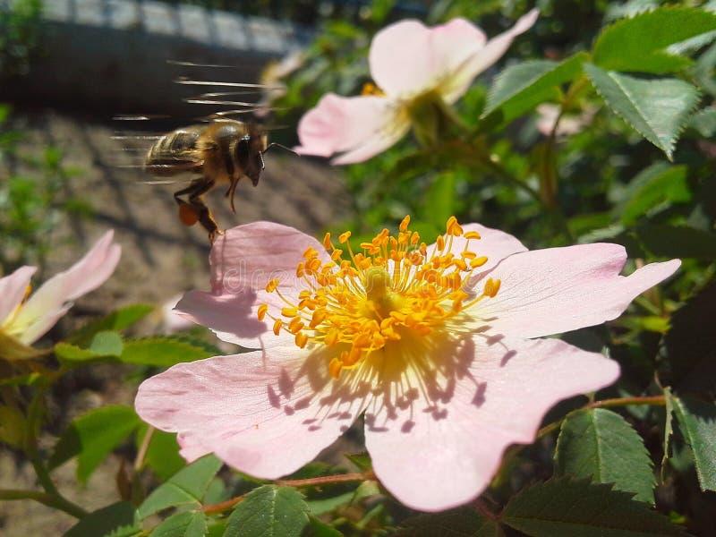 Pszczoła i dziki wzrastaliśmy zdjęcie royalty free