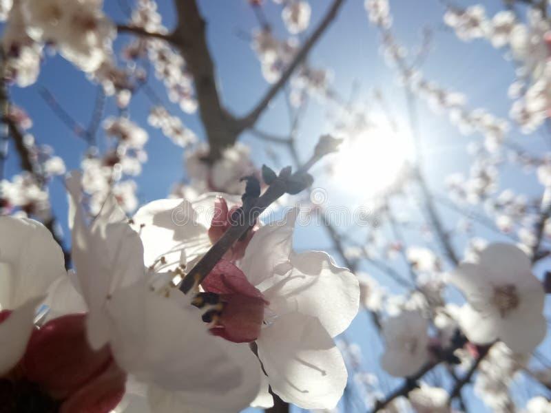 Pszczoła x27 i flowers&; s wiosna obraz royalty free