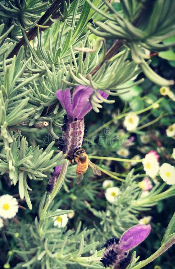 Pszczoła i kwiat obraz royalty free