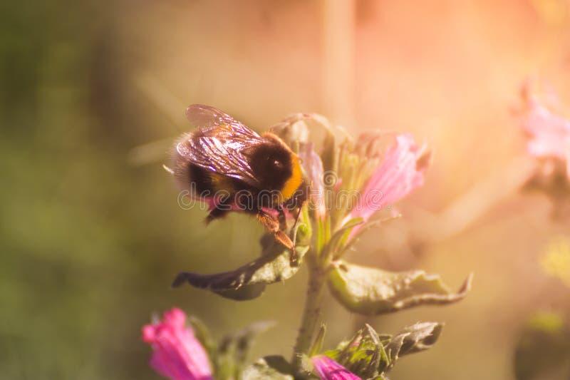 Pszczoła i kwiaty fotografia royalty free