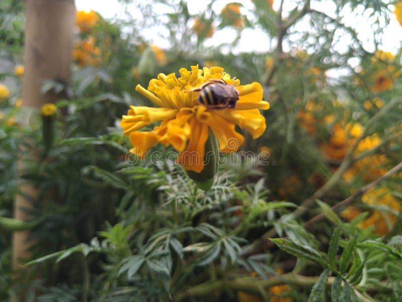 Pszczoła i marigold dla miodu i ziarna pyłku w ogrodzie domu w Imphal, Indie obrazy royalty free