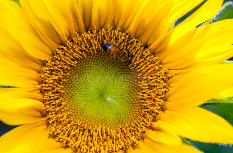 Pszczoła i słonecznik obraz royalty free
