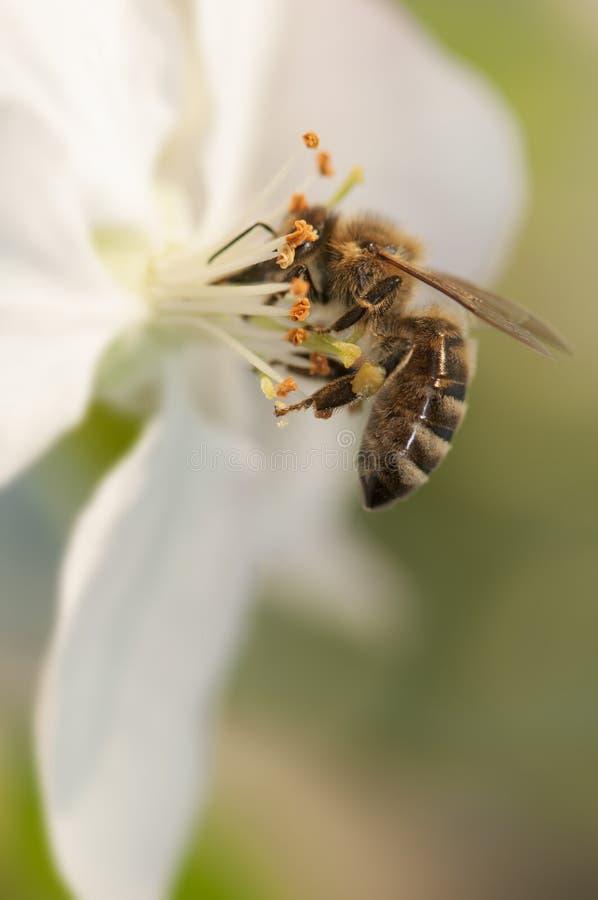Pszczoła i stamens obrazy royalty free