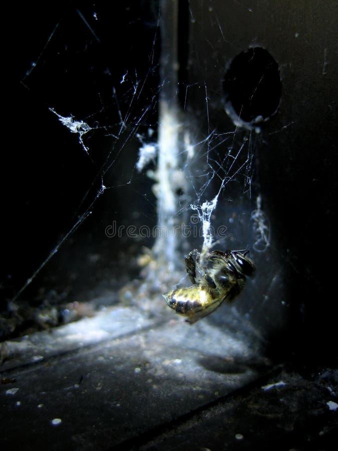 Pszczoła jako ofiara na spiderweb obrazy stock