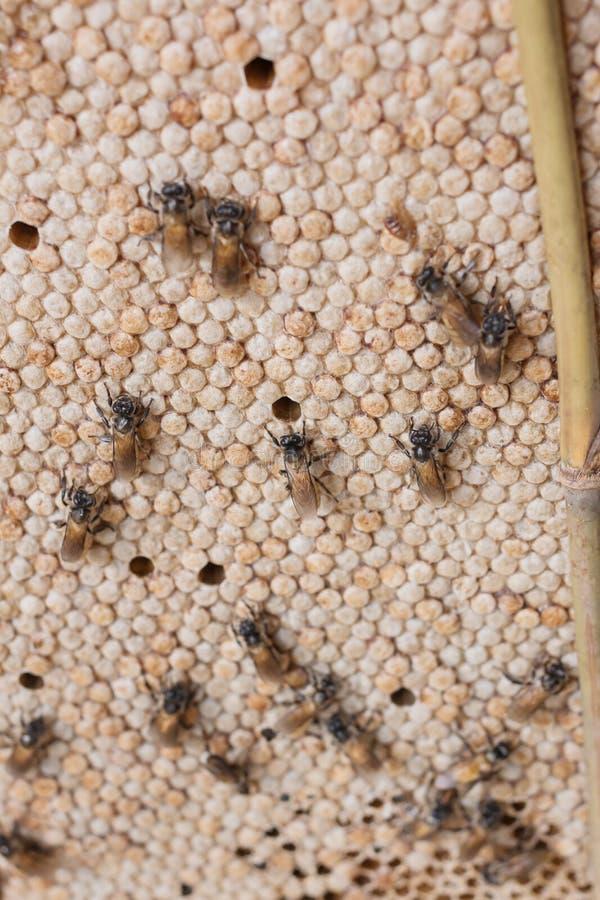 Pszczoła jest na honeycomb obraz royalty free