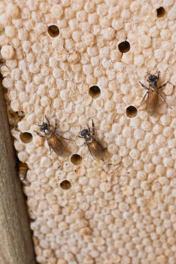 Pszczoła jest na honeycomb zdjęcie stock