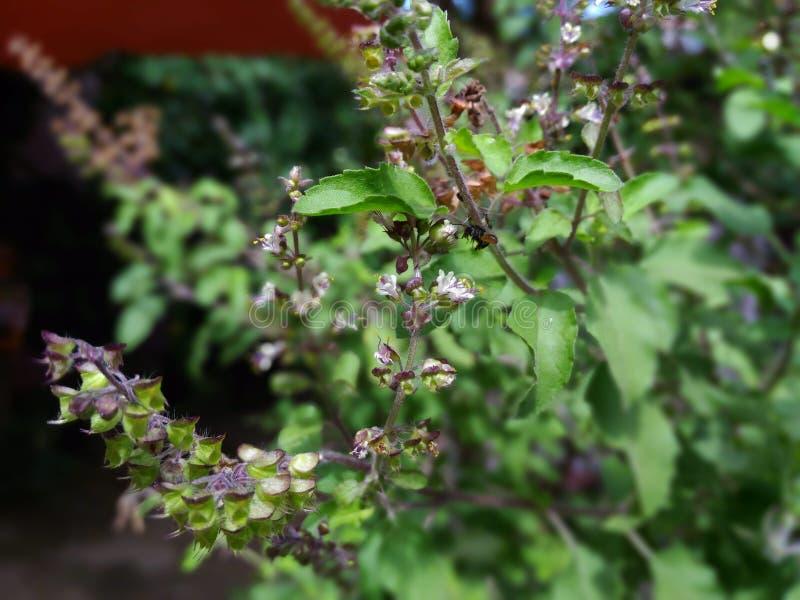 pszczoła jest zbierackim miodem od basilu drzewa fotografia royalty free