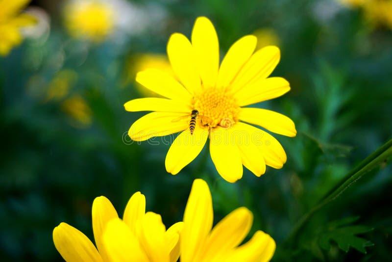 Pszczoła jest zbierackim nektarem na żółtym kwiacie obraz stock