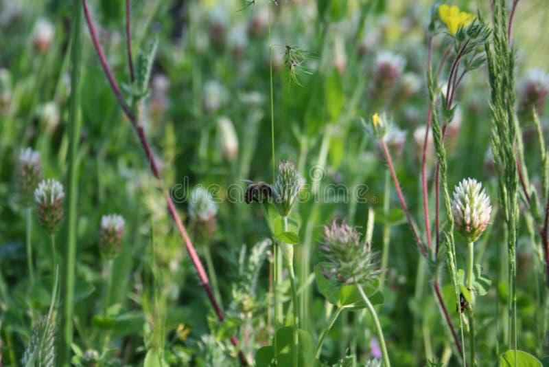 pszczoła koniczynowy kwiat fotografia stock