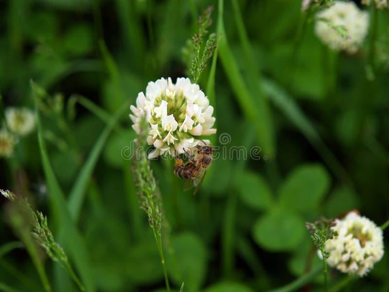 pszczoła koniczynowy kwiat zdjęcie stock