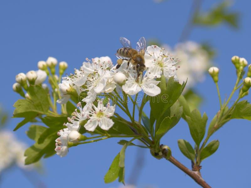 pszczoła krzak kwitnąca wiosna zdjęcie royalty free