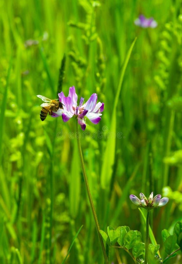 pszczoła kwiaty fotografia royalty free