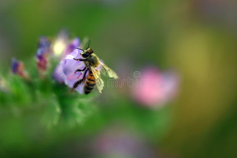 pszczoła kwiaty purpurowy fotografia royalty free