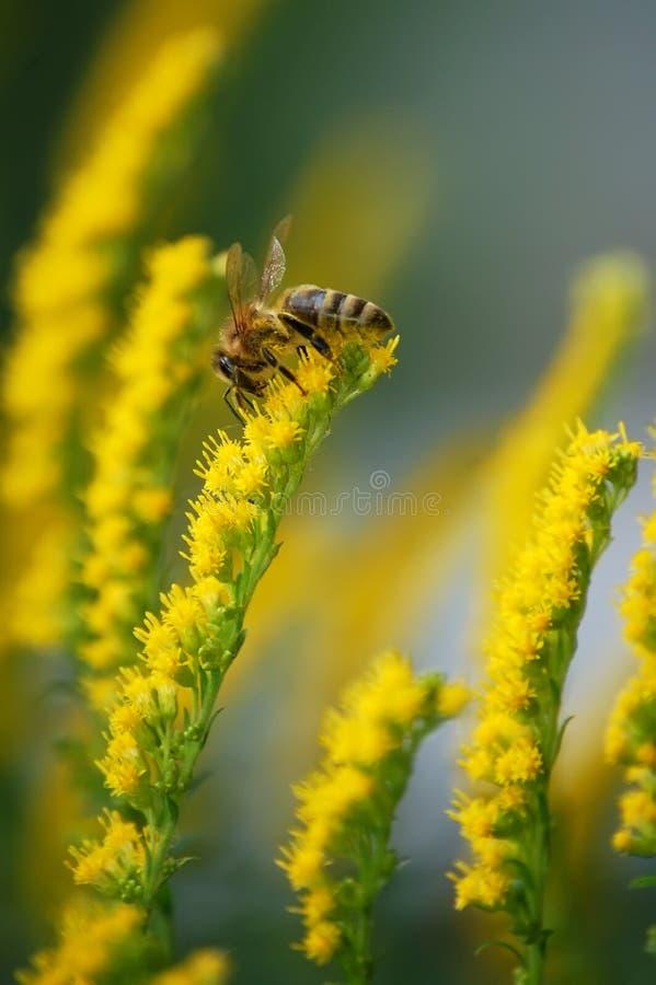 pszczoła kwitnie kolor żółty obraz royalty free