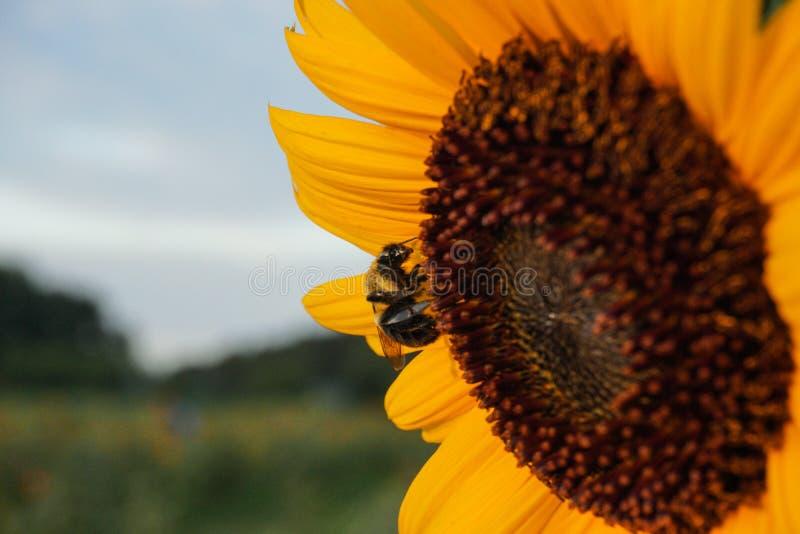 Pszczoła ląduje na słoneczniku zapylać je obraz stock