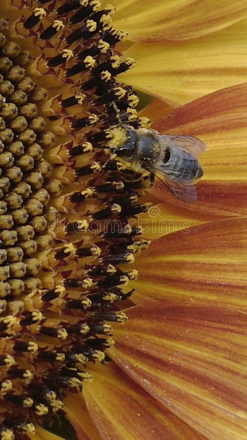 Pszczoła laiden z pollon zdjęcia stock