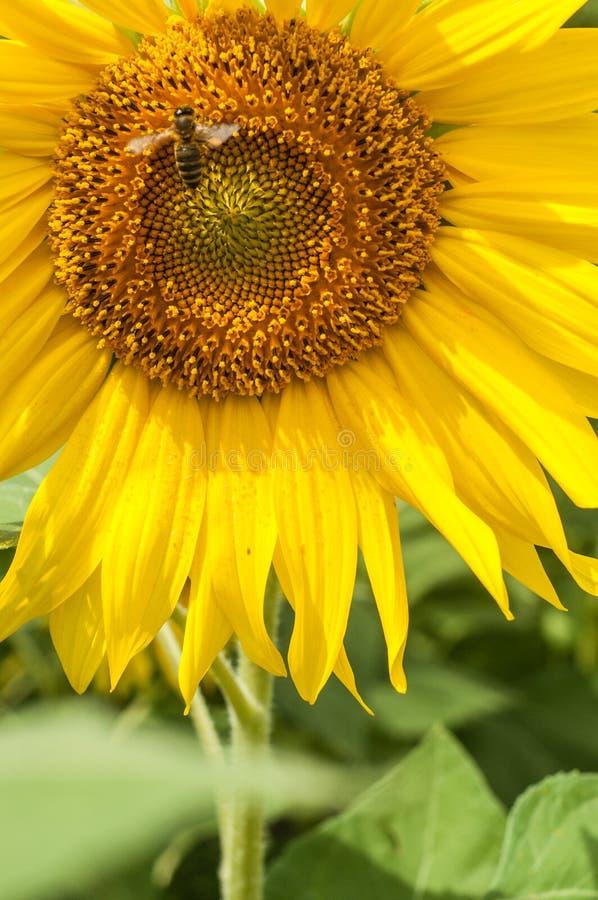 Pszczoła lata do słonecznika zdjęcie stock