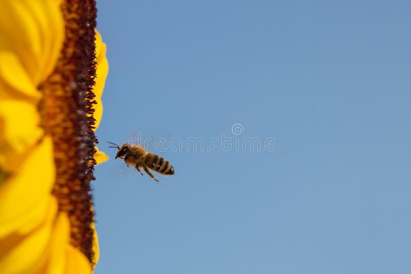 Pszczoła lata kolorowy słonecznik - jasny niebieskie niebo zdjęcia stock