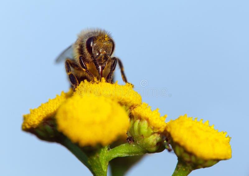 Pszczoła lub honeybee na żółtym kwiacie zdjęcia royalty free