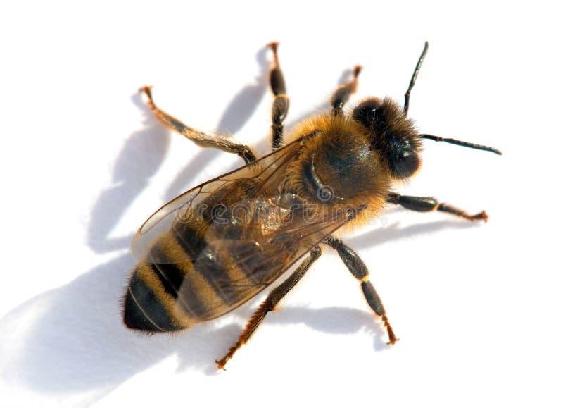 Pszczoła lub honeybee w Łacińskich Apis Mellifera fotografia stock