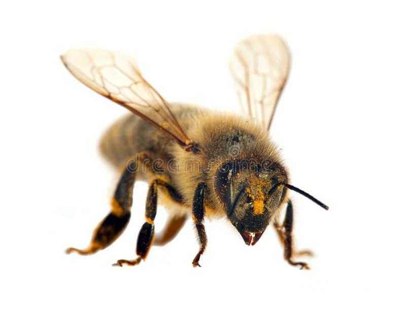 Pszczoła lub pszczoła odizolowywająca na bielu honeybee lub miodu obrazy royalty free