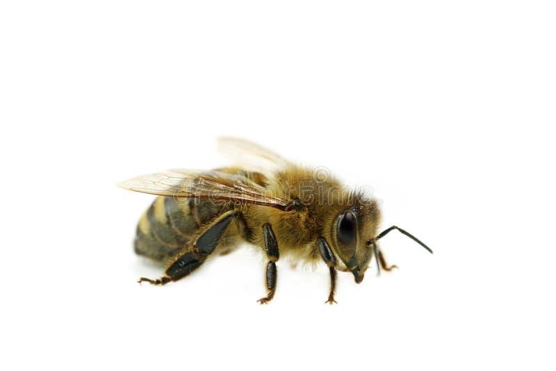 Pszczoła makro- boczny widok odizolowywający na białym tle, zakończenie w górę honeybee zdjęcie royalty free