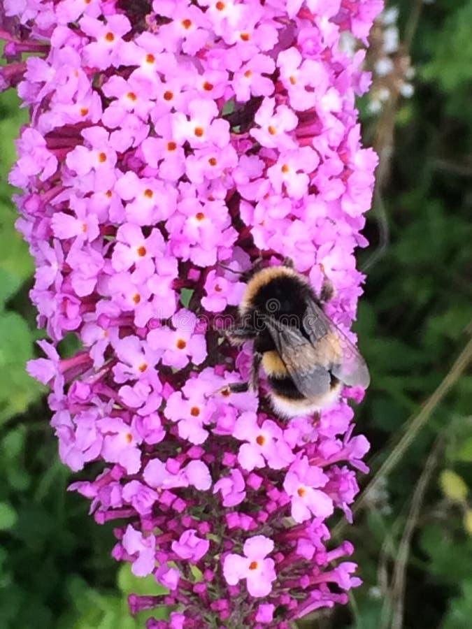 pszczoła mamrocze kwiat menchie obraz royalty free
