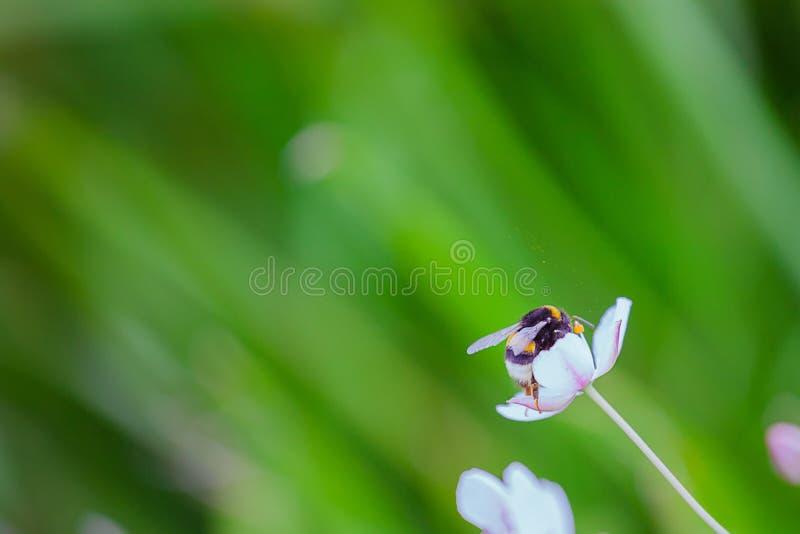 pszczoła mamrocze kwiatu obraz stock