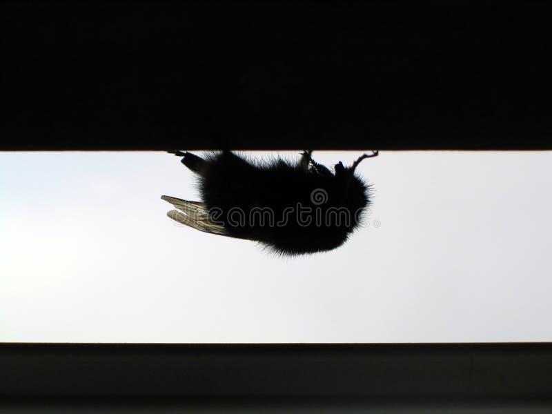 pszczoła mamrocze wspólne zdjęcia stock