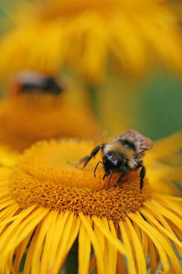 pszczoła mamrocze zbierackiego nektar zdjęcie stock