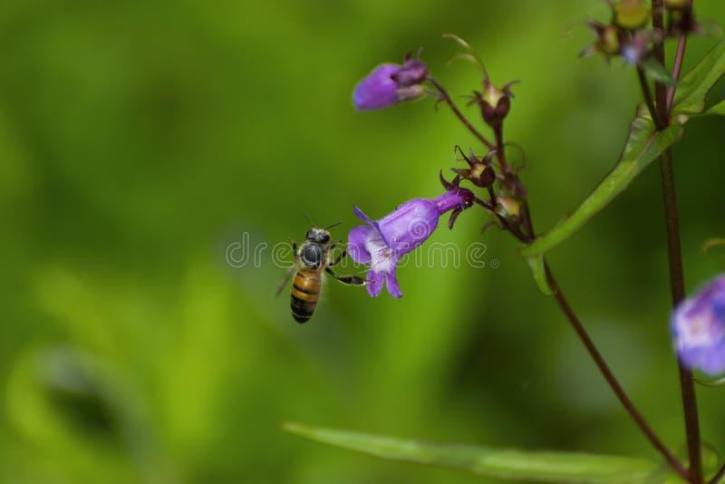 Pszczoła miodna ląduje na kwiacie zdjęcie royalty free