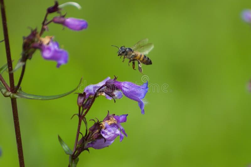 Pszczoła miodna leci nad Purple Coneflower obrazy stock