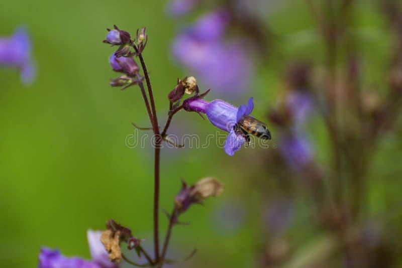 Pszczoła miodna w purpurowym koneflowie obraz royalty free