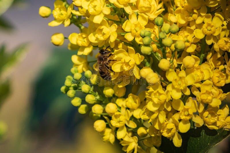 Pszczoła na żółtym kwiacie zbiera wiosna miód Kwiatonośna roślina wiecznozielony krzak Oregon winogrona z piórkowatą zielenią fotografia stock