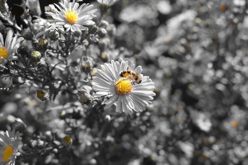 Pszczoła na ahromatic kwiacie zdjęcia stock