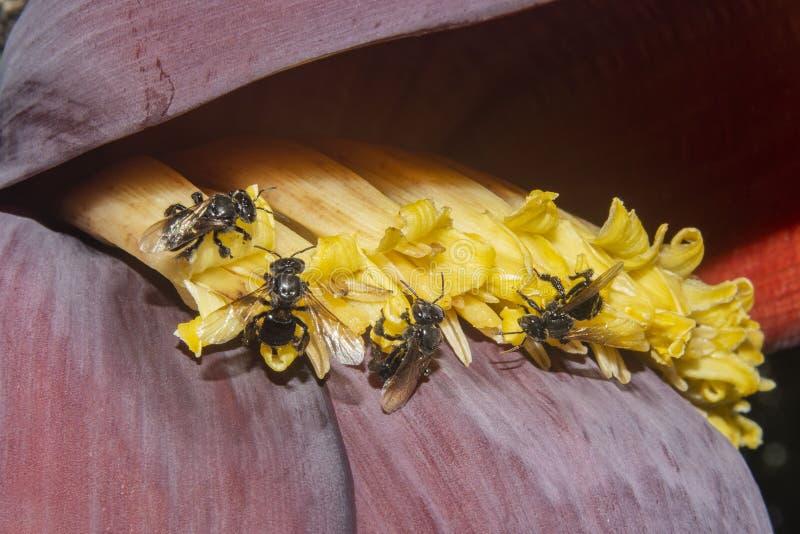 Pszczoła na bananowym kwiacie zdjęcia stock