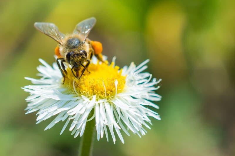 Pszczoła na białym kwiacie natury fotografia fotografia stock