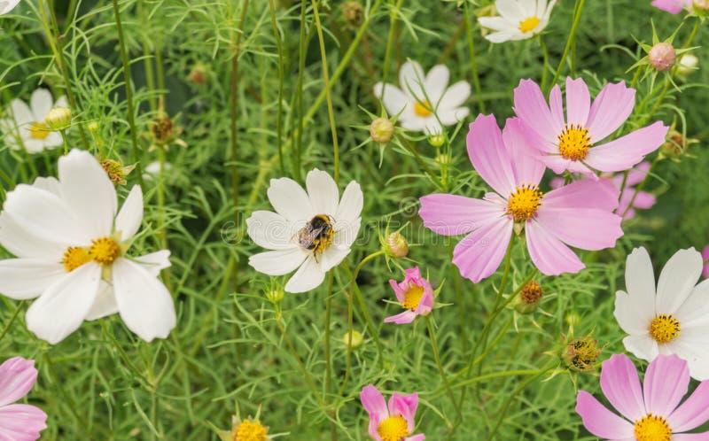 Pszczoła na białym kwiacie na zielonym tle zdjęcie royalty free