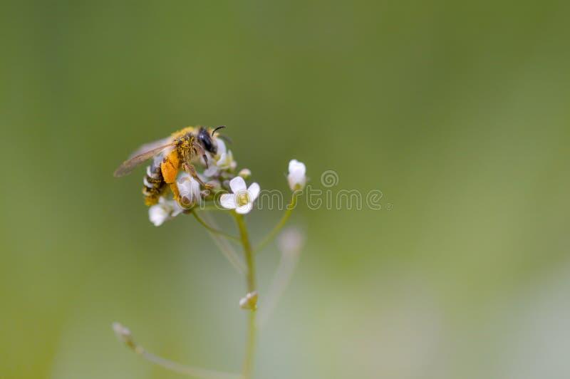 Pszczoła na białym wildflower zdjęcie royalty free