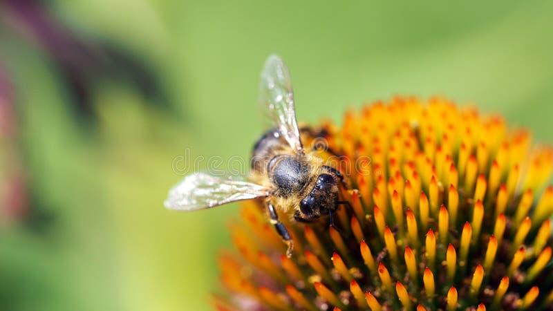 Pszczoła na Coneflower 16to9 ściany obrazku obraz stock