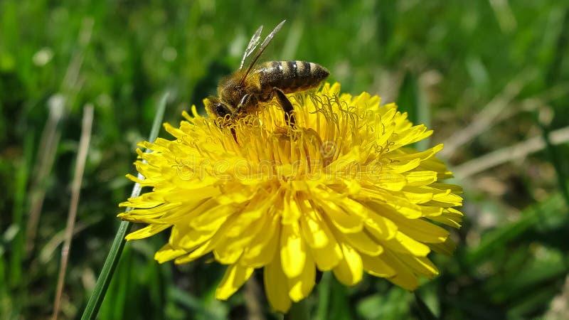 Pszczoła na Dandelion obraz royalty free