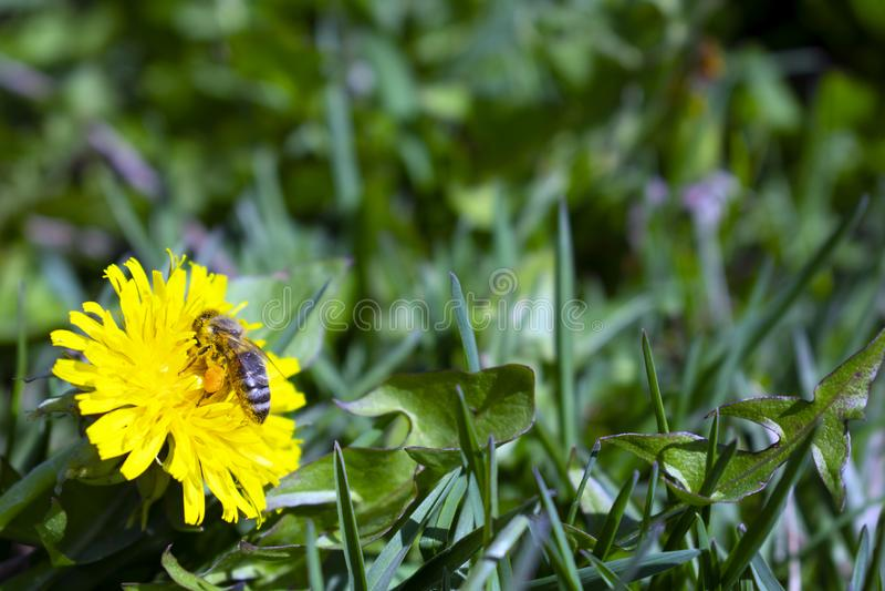 Pszczoła na Dandelion obrazy royalty free