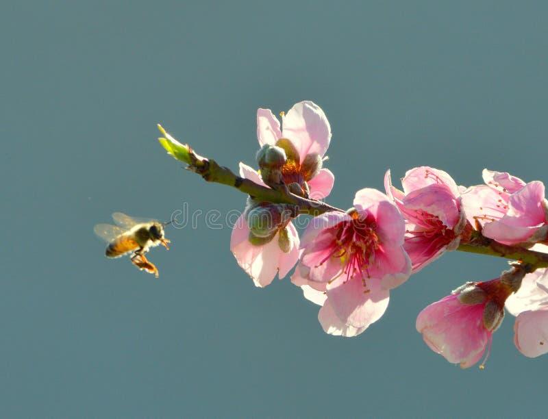 Pszczoła na definitywnym podejściu fotografia royalty free