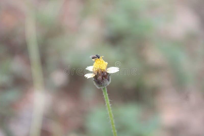 Pszczoła na dzikim kwiacie obraz royalty free