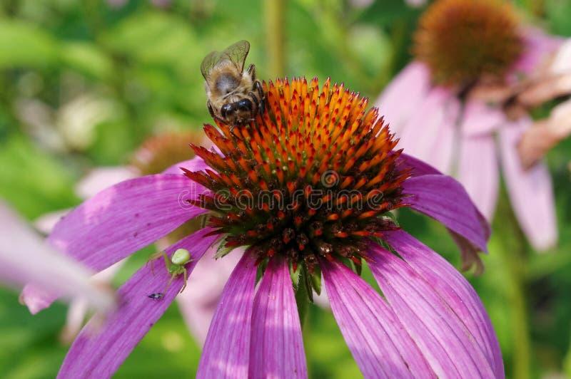 Pszczoła na Echinacea obrazy stock